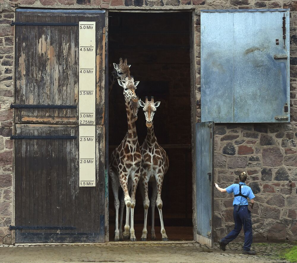 Les girafes  du zoo de Chester (Royaume-Uni) ont leur  propre maison qui est beaucoup plus élevée  que d'autres «domiciles» des habitants du parc