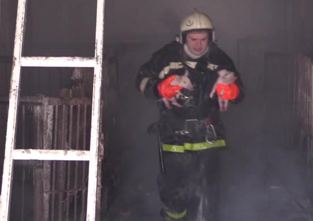 Plus de 150 cochonnets sauvés par des pompiers russes