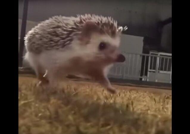 Le jogging d'un hérisson