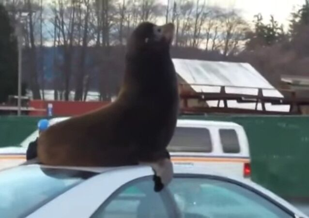 Un lion de mer prend d'assaut une voiture