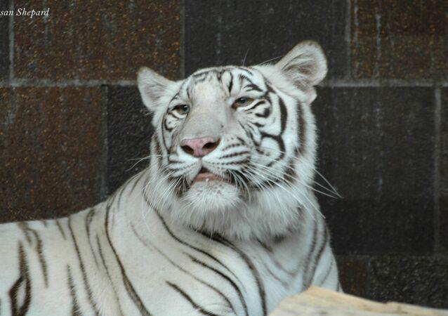 Le tigre du Bengale