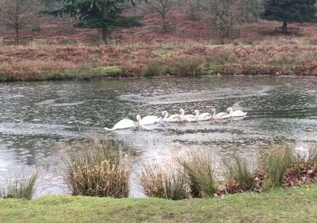 Un cygne ouvre un passage pour sa famille dans un étang gelé