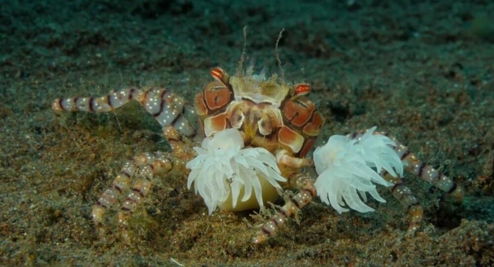 Les crabes-boxeurs se volent l'un l'autre leurs «gants» vivants