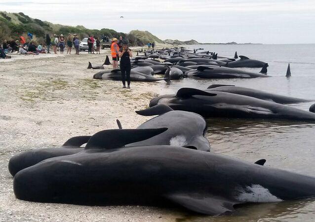 Plus de 400 baleines-pilotes s'échouent sur les côtes Nouvelle-Zélande