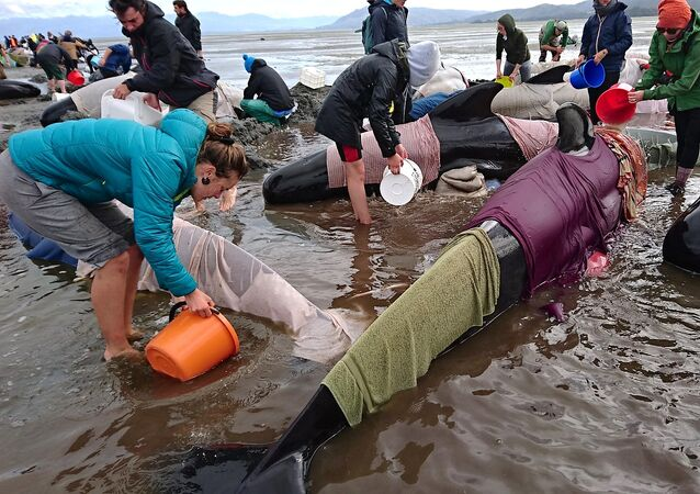 Des centaines de baleines-pilotes s'échouent en Nouvelle-Zélande