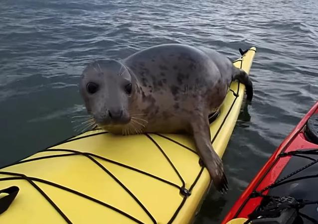 Un phoque-explorateur fan de kayak