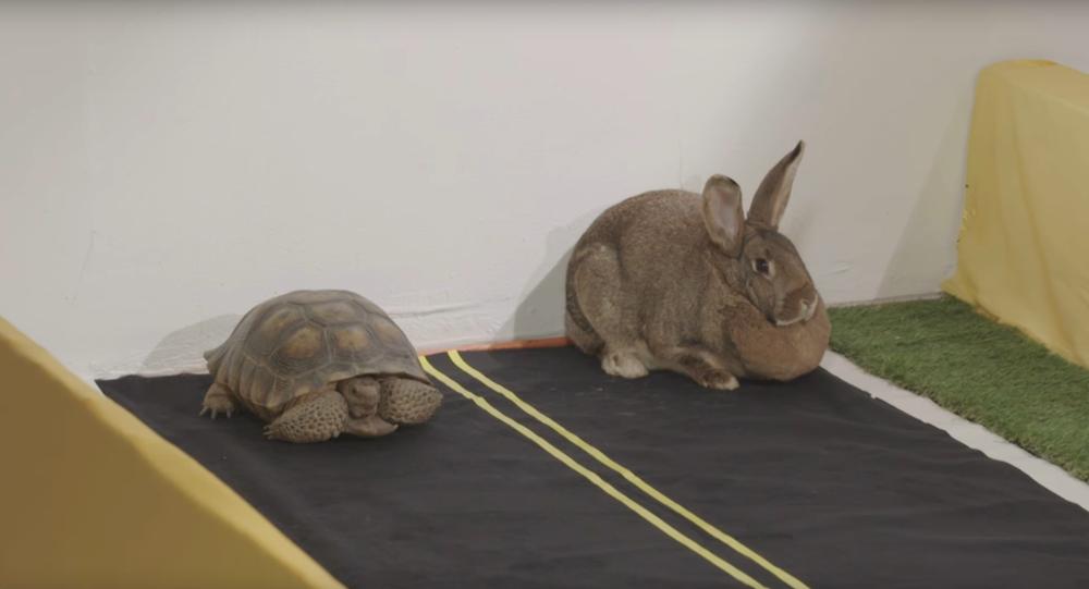 Lièvre vs. tortue: la course qui a captivé des millions d'internautes
