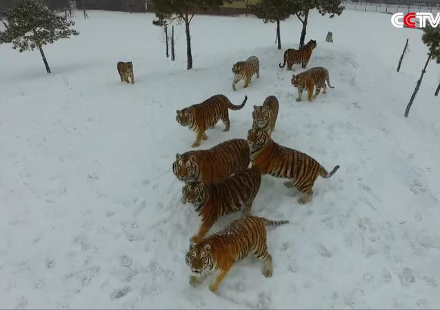 Tigres en surpoids VS drone
