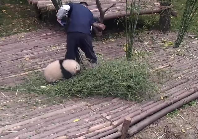 Un vrai petit panda de poche!