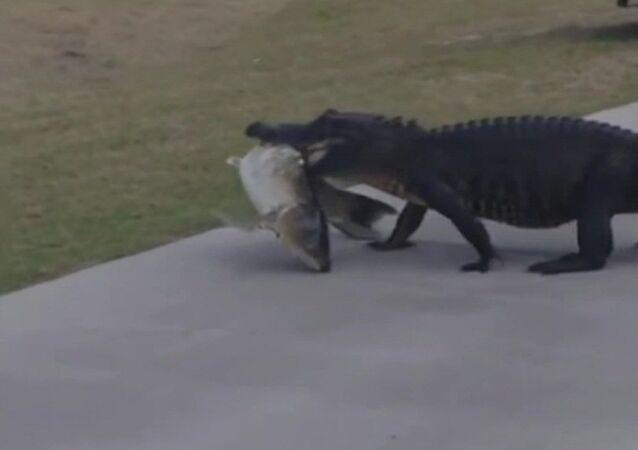 Quand un alligator décide de faire un pique-nique en plein tournois de golf