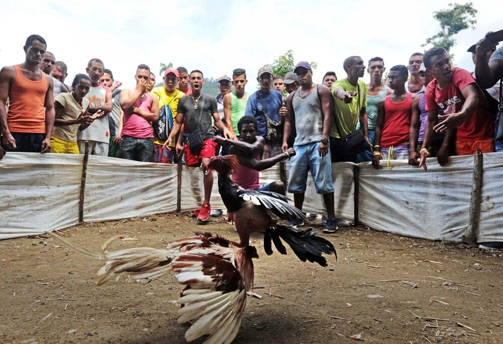 Les combats de coqs à Cuba