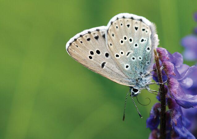 Effet papillon: un collectionneur UK accusé d'avoir tué un insecte d'une extrême rareté