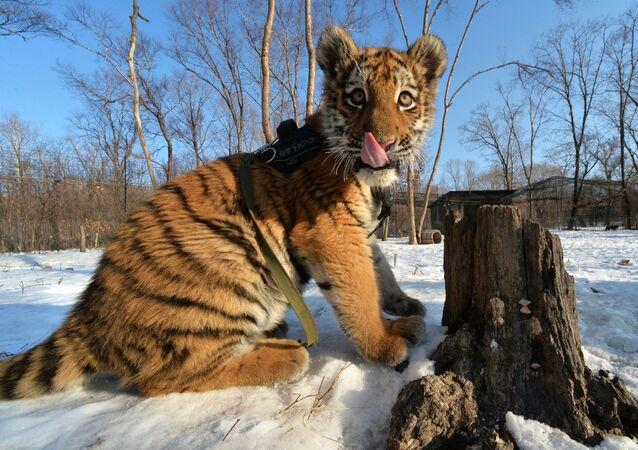 Tumulte au zoo: le fils du tigre Amour fête son anniversaire!