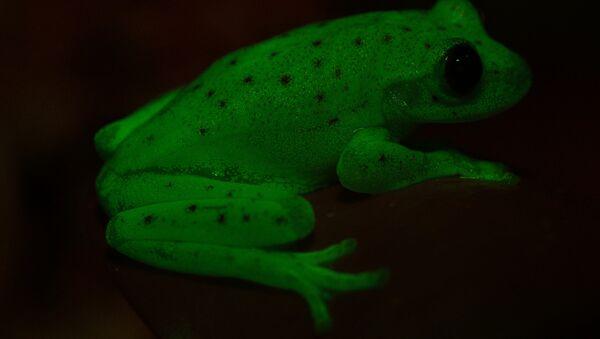 Ranas fluorescentes encontradas en América del Sur - Sputnik France