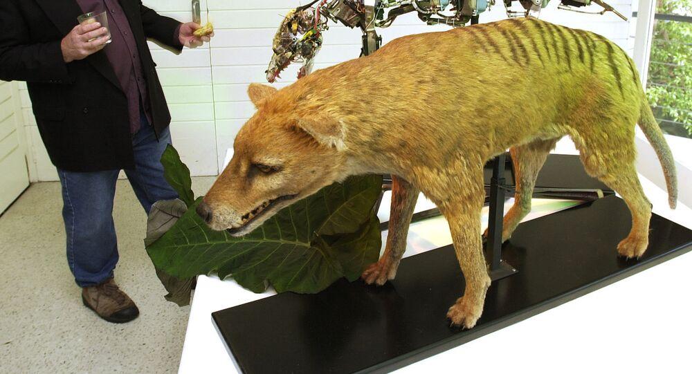 Un tigre de Tasmanie empaillé