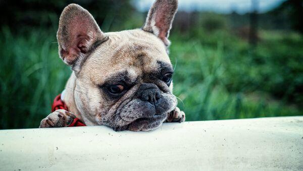Un chienes - Sputnik France
