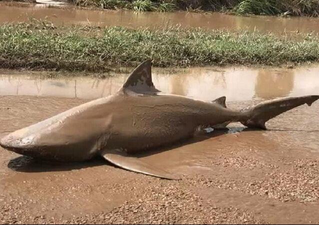 Le violent cyclone rejette un requin au milieu de la route en Australie (Vidéo)