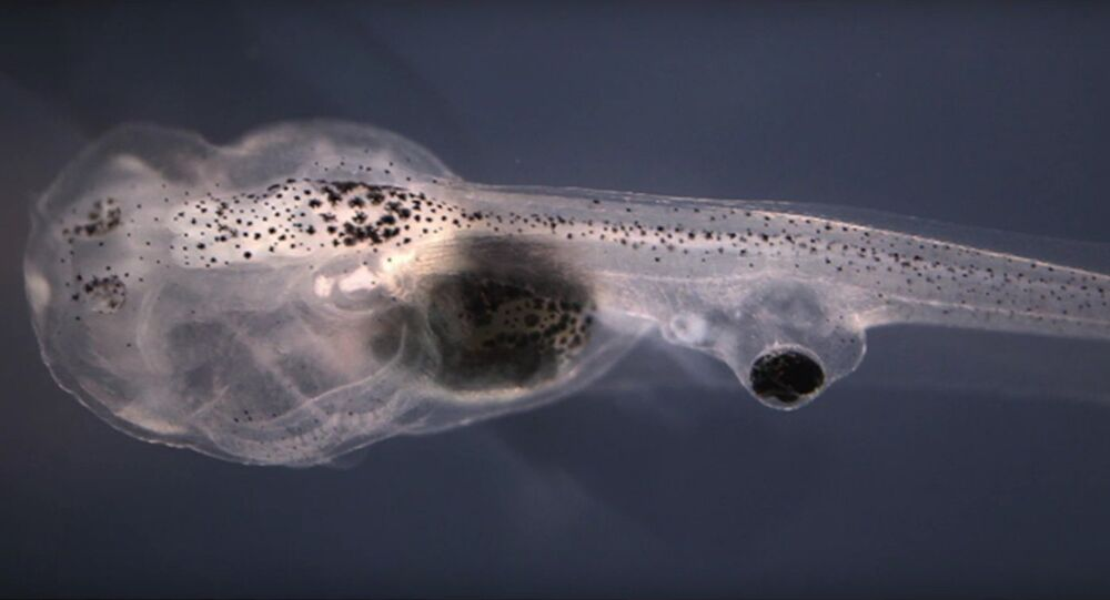 Blind tadpoles learn visually after researchers graft eyes onto tails