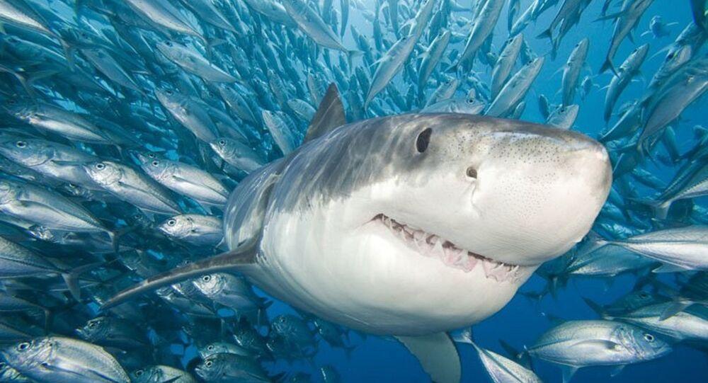 Un grand requin blanc dévore un phoque devant des touristes (vidéo)