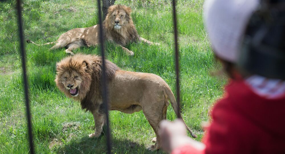 Des lions. Image d'illustration