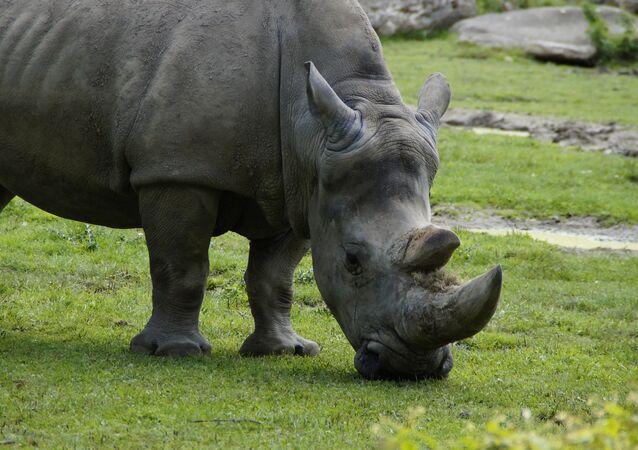 rhinocéro
