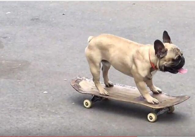 Un bouledogue percute le siège de la BBC en skateboard (vidéo)