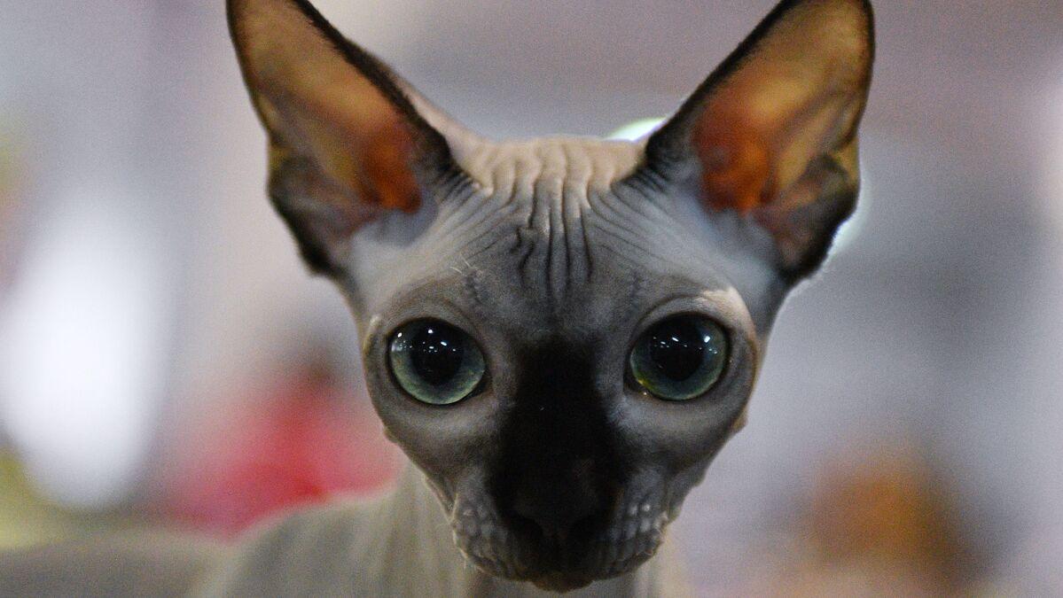 Un Chat Sphynx Souffrant D Une Rare Anomalie Devient Une Star D Instagram Images Sputnik France