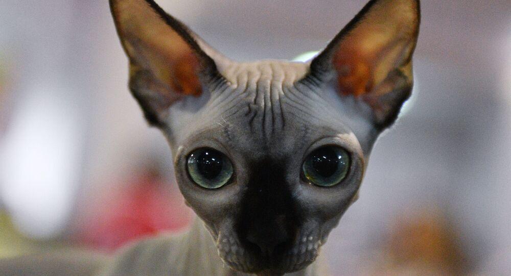 Un chat sphynx. Image d'illustration
