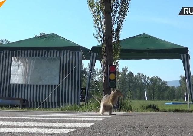 Attention aux écureuils! Un passage clouté pour rongeurs voit le jour à Krasnoïarsk