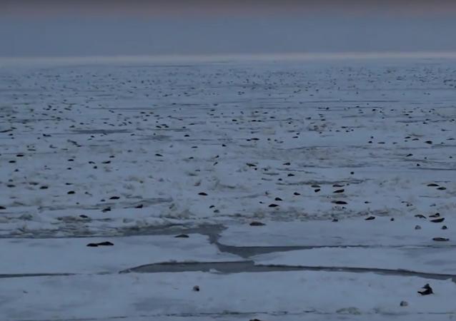 Invasion de phoques d'une plateforme pétrolière russe dans l'Arctique