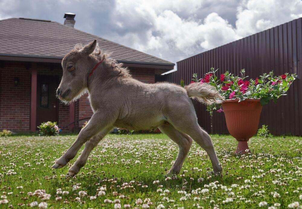 Le plus petit poulain au monde