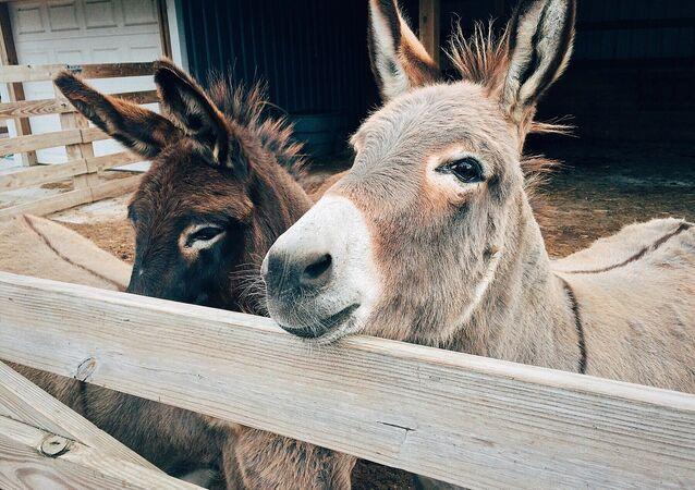 Des ânes