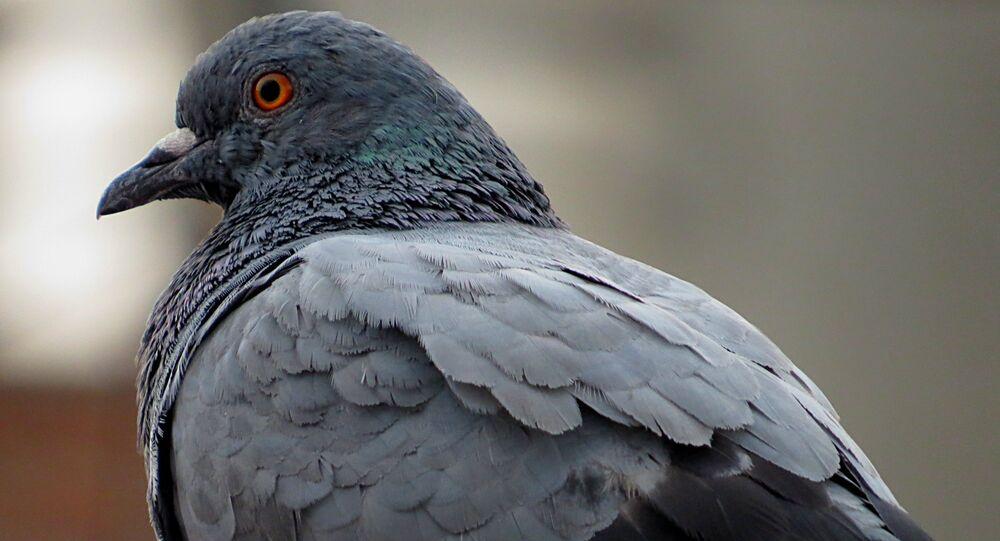 Un pigeon. Image d'illustration