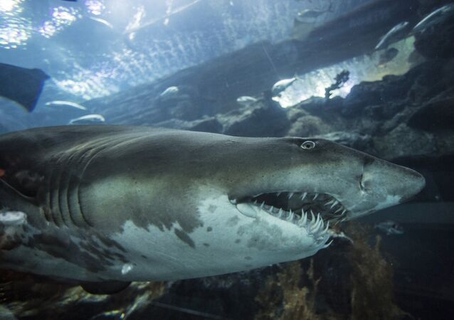 Un requin (photo d'illustration)