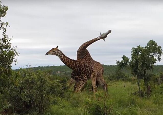 Avez-vous déjà vu des girafes se battre?