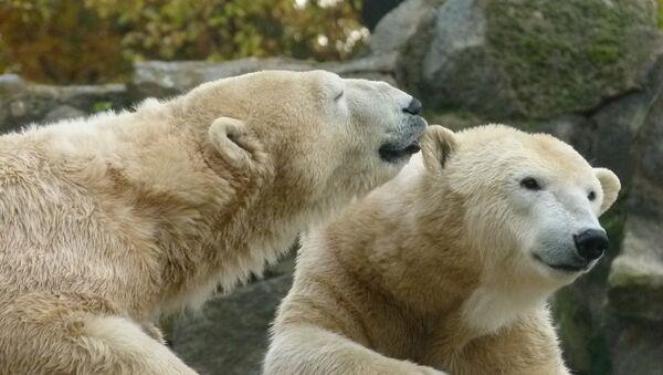 ours polaires - Sputnik France