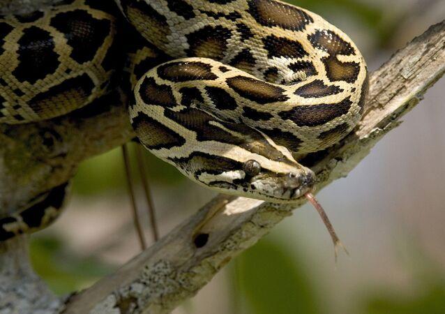 Un python