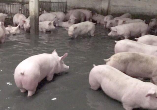 Au Vietnam, à la suite d'une inondation, une ferme d'élevage porcin a été noyée