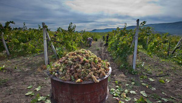 Сбор урожая винограда в Крыму - Sputnik France