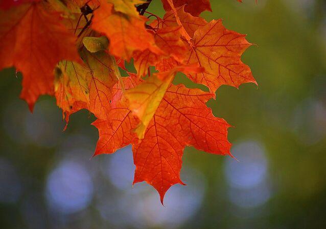 Des feuilles d'érable. Image d'illustration