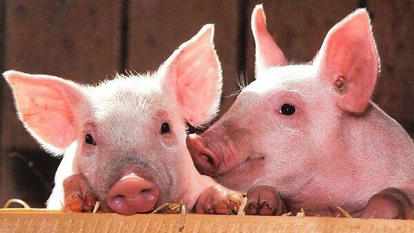Pigs - Sputnik France