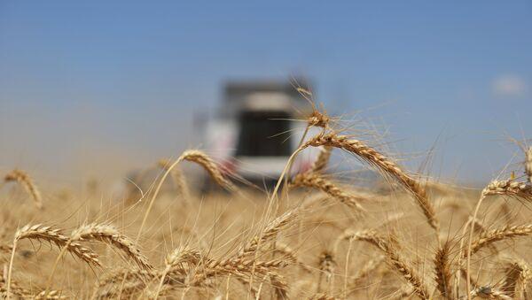 Le blé russe - Sputnik France