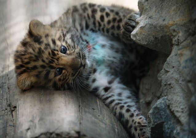 Un bébé léopard, image d'illustration