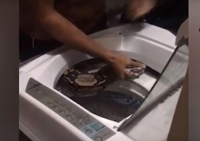 Un boa de 2 mètres s'est enroulé autour du tambour de leur machine-à-laver (vidéo)