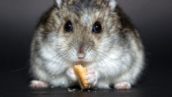 hamster - Sputnik France