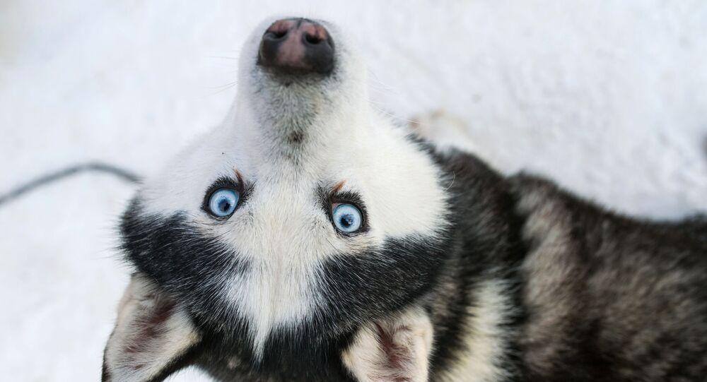 Un husky dans le parc Sokolniki de Moscou