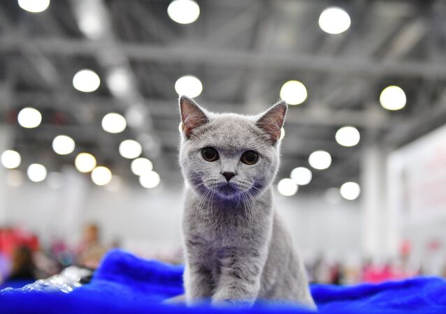 Un chat de race British Shorthair (image d'illustration)