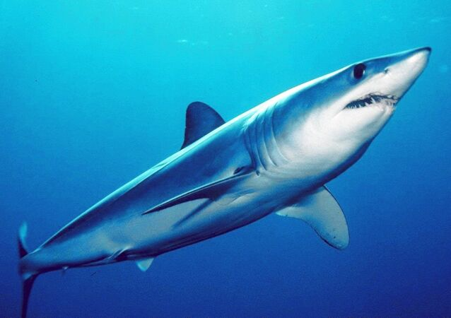 Un requin mako