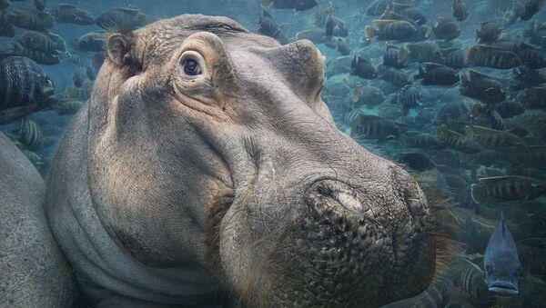 Hippopotamus Underwater - Sputnik France