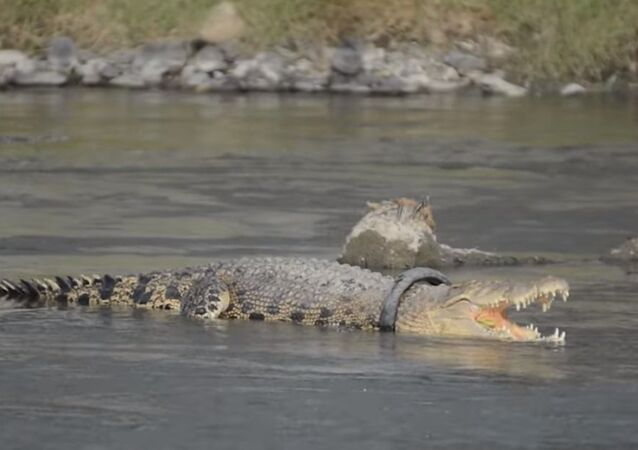 Crocodile Lives With Tyre Around Its Neck